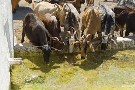replenish: Goats drinking,Andalusia,Spain