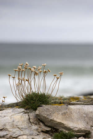 Sea thrift Stock Photo - 7551790