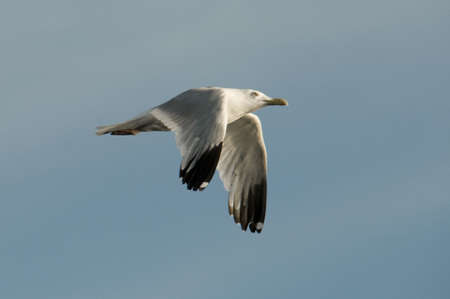 Gull in flight Banque d'images