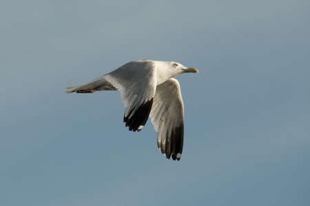 Gull in flight 版權商用圖片