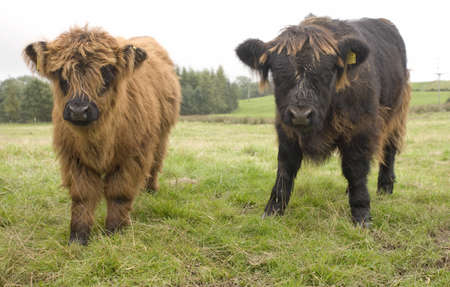 bovine: Highland cattle calves, Scotland