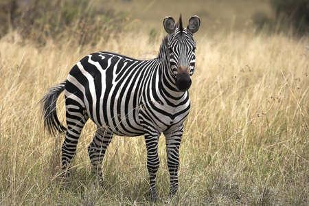 chris upton: Burchells Zebra, Masai, Mara, Kenya; Zebra standing in grasslands