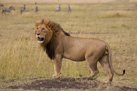 Lion, Masai Mara, Kenya; Lion looking across the African plains Stock Photo
