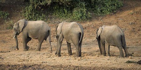 panoramics: African Elephants, Mount Kenya, Kenya, Three elephants walking in a row