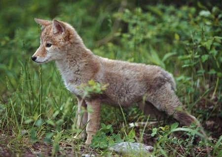 Coyote (Canis latrans) puppy Foto de archivo
