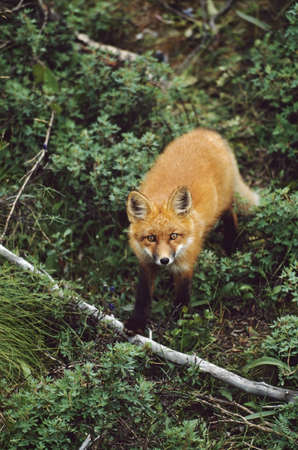 Red fox (Vulpes vulpes) Stock Photo - 7559181