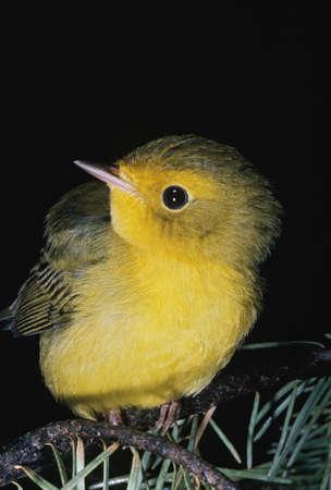 Yellow warbler (Dendroica petechia) Stock Photo - 7551778