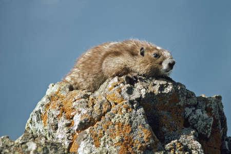 Olympic marmot (Marmota olympus) Stock Photo - 7551784