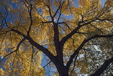 Fremont cottonwood (Populus fremontii) Stock Photo - 7559184