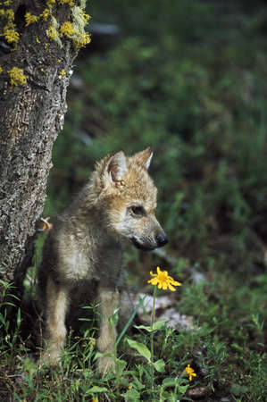 Wolf puppy (Canis latrans) Stock Photo