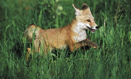 Junge Rotfuchs (Vulpes Vulpes), ausgeführt durch Gras LANG_EVOIMAGES