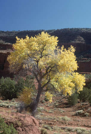 Cottonwood tree with red sandstone in autumn, New Mexico, USA