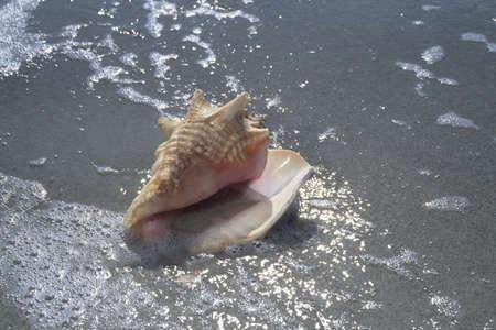 ocean waves: Seashell on beach, Sanibel Island, Florida, USA