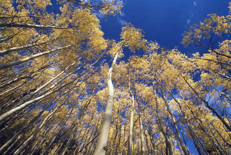 aspen leaf: Quaking aspens in autumn, Santa Fe National Forest, New Mexico, USA