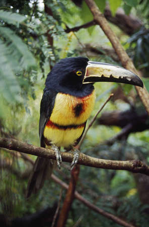 Collared Aracari (Pteroglossus torquatus)on tree branch, Belize Stock Photo
