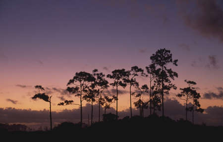 everglades national park: Twilight behind slash pine trees (Pinus elliottii) on pine hammock LANG_EVOIMAGES