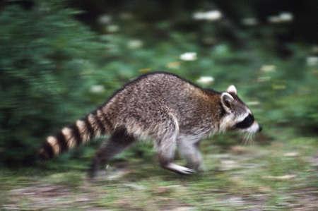 Raccoon (Procyon lotor) running Stock Photo - 7559193