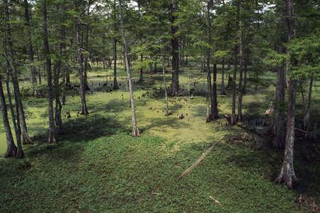 Cypress swamp, Atchafalaya Basin, Los Angeles, USA