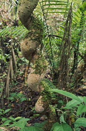 Liana with spirial shape, Amazon Basin, Ecuador Stock Photo - 7551872