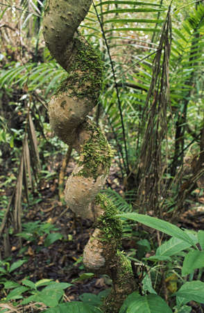 Spirial 図形、エクアドルのアマゾン盆地のつる植物