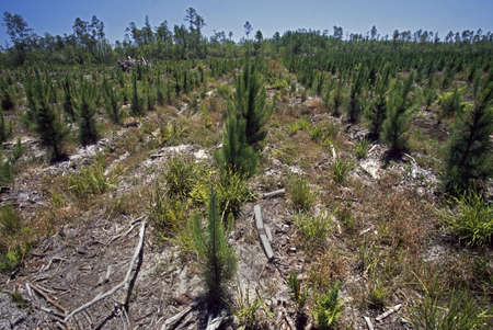 forestry industry: Rows of small pines in forest plantation