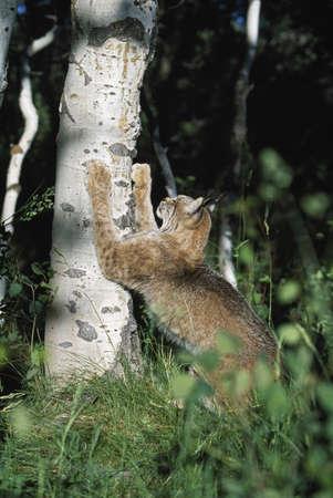 Lynx (Felis lynx) scratching claws on aspen tree Stock Photo - 7551812