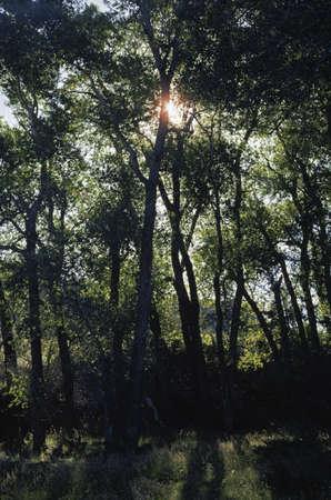 Sunburst through fremont cottonwood grove Stock Photo - 7559153