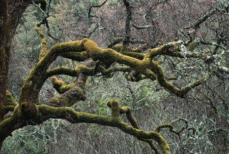 Mos bedekte ledematen van een eiken boom in een chaparral-eiken bos Stockfoto