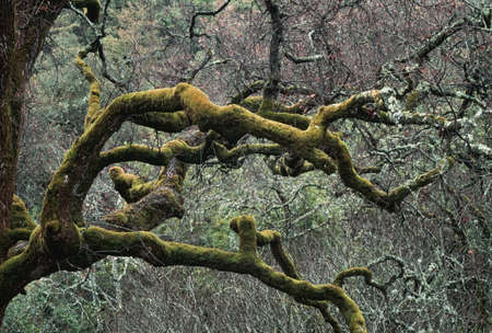Moss covered limbs of an oak tree in a chaparral-oak woodland