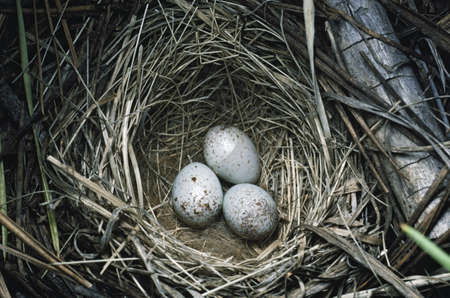 Dark-eyed junco (Junco hyemalis) eggs in nest woven from grass 版權商用圖片 - 7551876