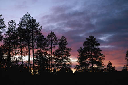 ponderosa: Ponderosa pine silhouettes on ridge with sunset light in clouds