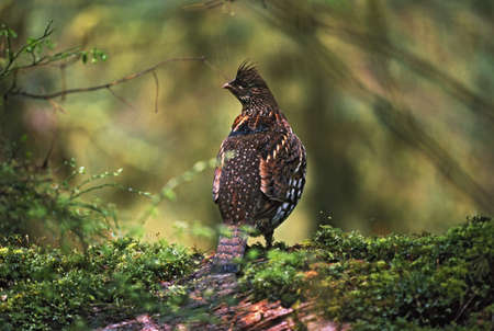 grouse: Ruffed grouse on mossy log in rainforest