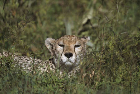 Cheetah reclining in vegetation, East Africa