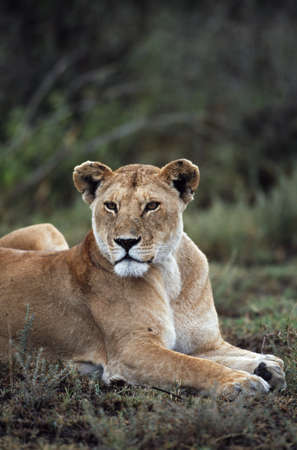 panthera leo: Lioness reclining, Africa