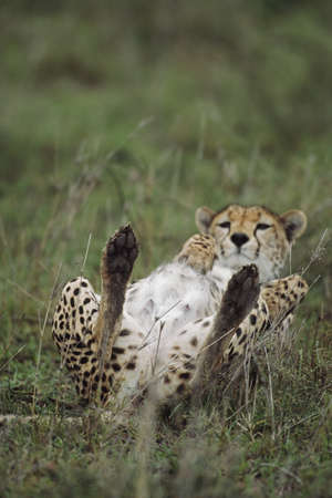 Cheetah lying on its back, Africa Stock Photo - 7559159