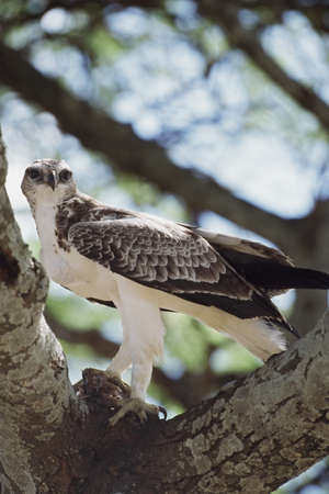African hawk eagle with prey in the fork of a branch, Africa Stock Photo - 7551813