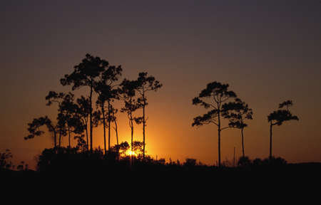 Sunrise behind slash pine trees (Pinus elliottii) Stock Photo - 7551646