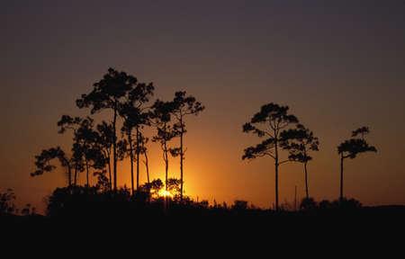 Sunrise behind slash pine trees (Pinus elliottii) Stock Photo - 7551646