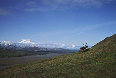 mckinley: Caribou bull with Mount Mckinley, Alaska, USA