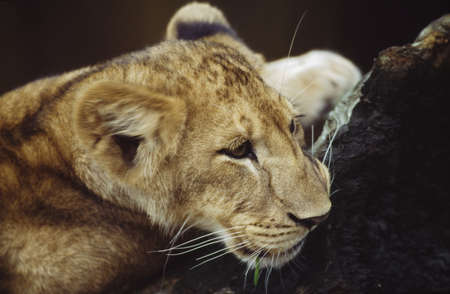 Portrait of lion cub resting on log