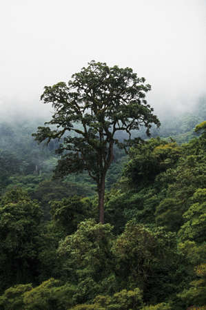 Large tree in fog, Ngorongoro Conservation Area, Tanzania, East Africa Banco de Imagens