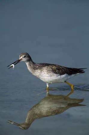 Lesser Yellowlegs bird walking in tide pool carrying minnow in its bill, Florida, USA