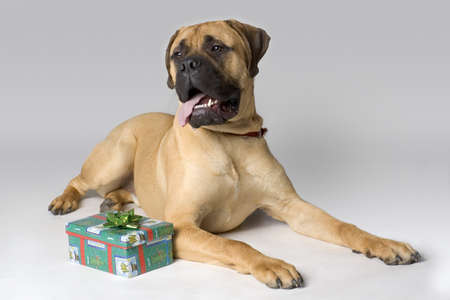 Large pedigree dog with Christmas present Stock Photo - 7551510