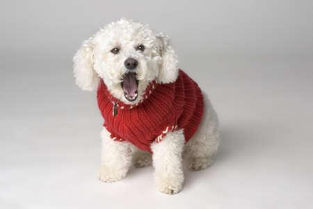 Yawning dog wearing a sweater Stock Photo - 7551471