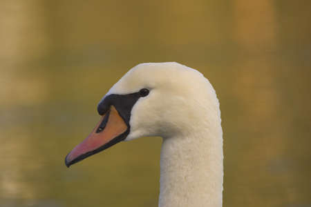 close up of a swan's head Stock Photo - 7551392