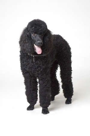 Black poodle Stock Photo - 7551482