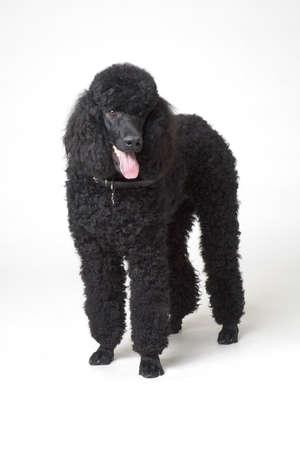 man's best friend: Black poodle