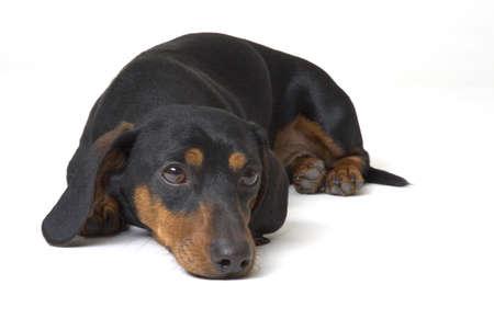 lay down: Black and tan dachshund