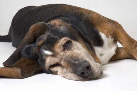 tired: Resting basset hound