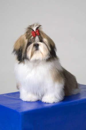 man's best friend: Shih-Tzu puppy LANG_EVOIMAGES